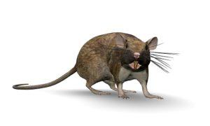 Rats Rodents