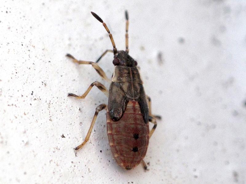 Elm Seed Bugs in Utah