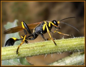 mud dauber wasp texas